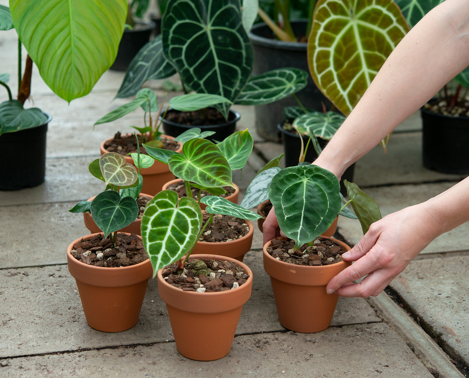 Anthurium_Philodendron_Babyplants