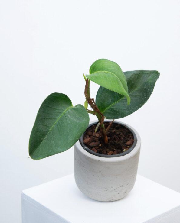 Anthurium cf. obtusifolium