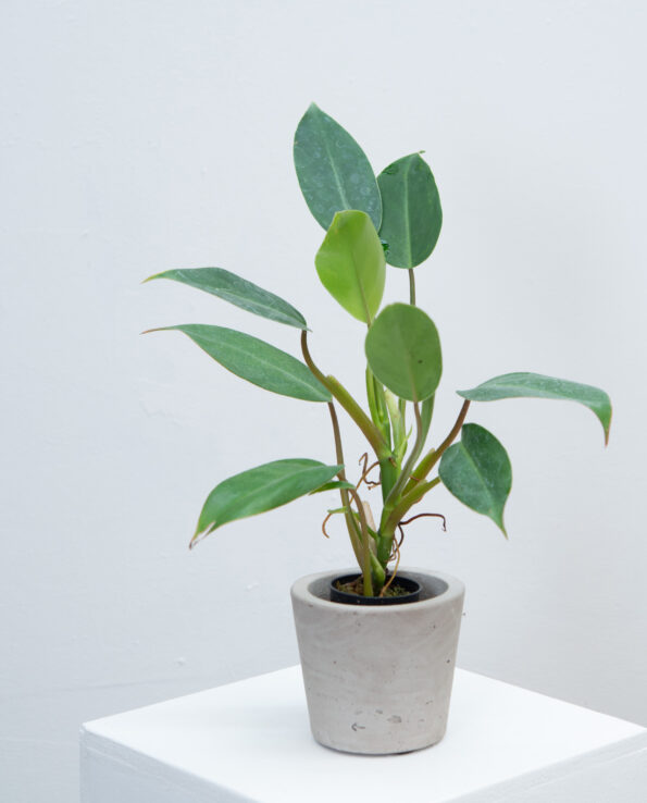 Philodendron spec.