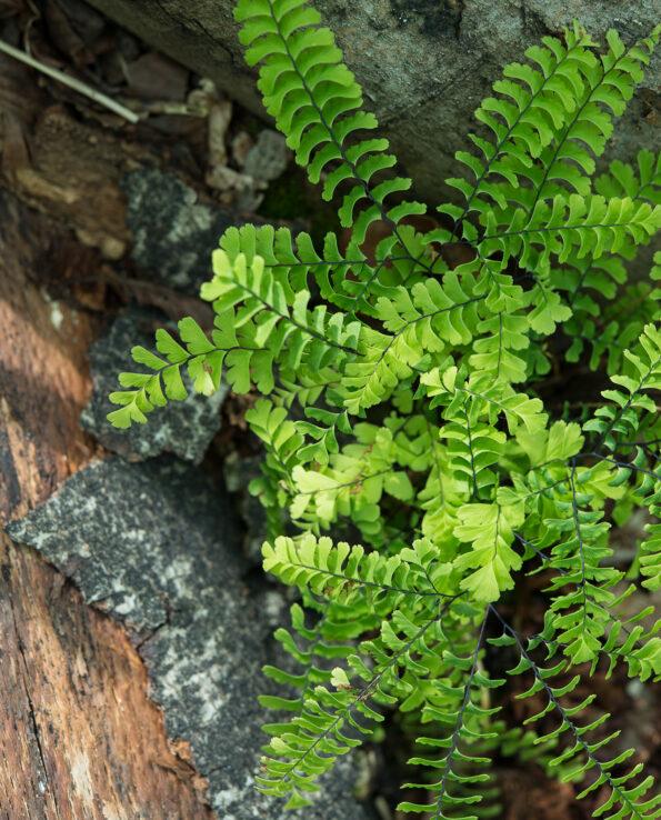 Adiantum pedatum ssp. subpumilum