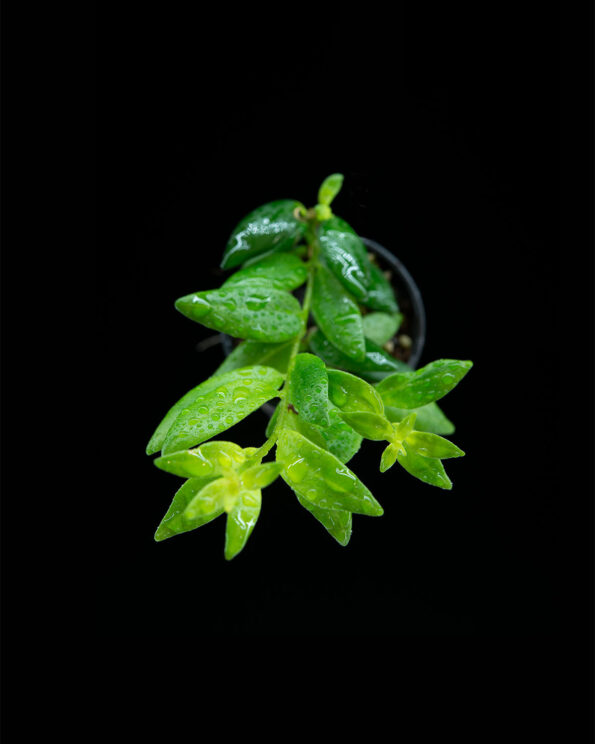 Aeschynanthus japhrolepis