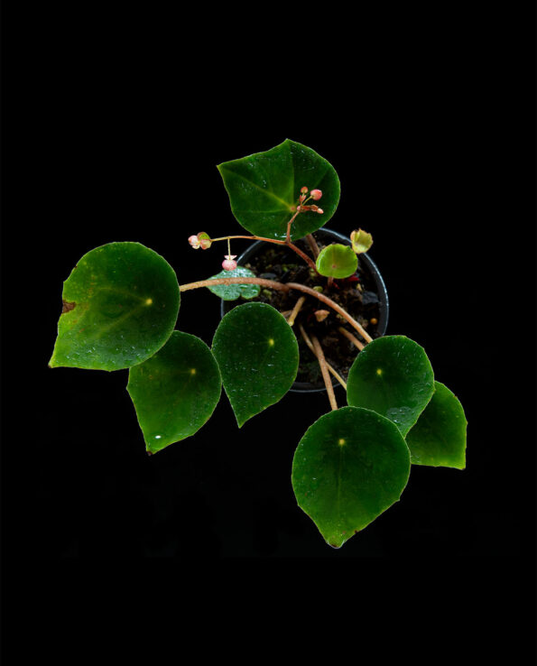 Begonia cf conchifolia