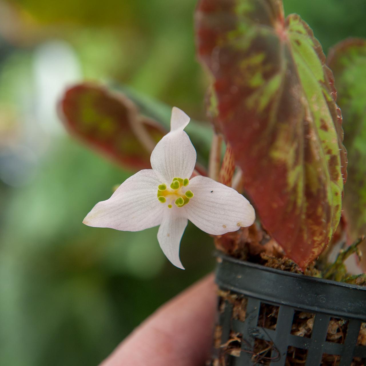 Begonia burkilii Begonie Terrarium
