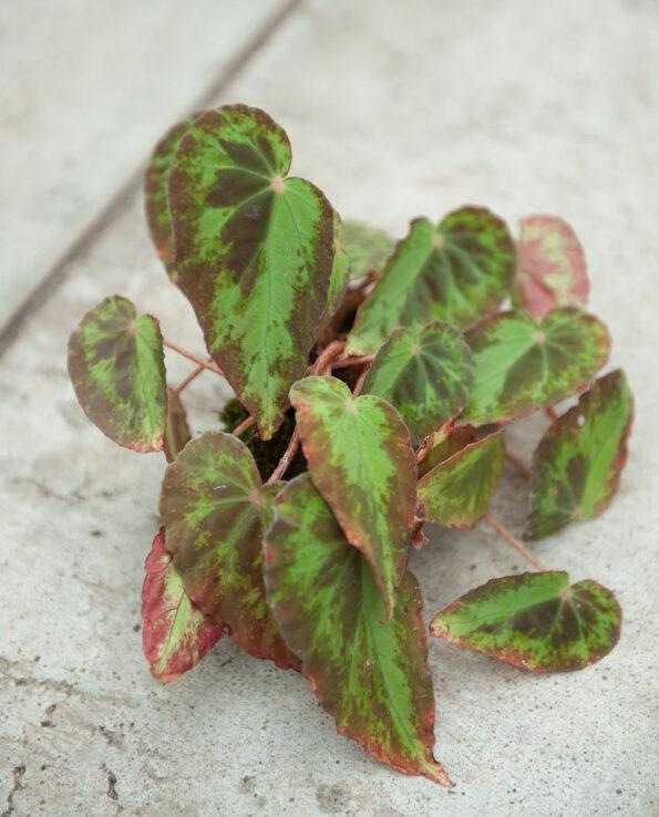 Begonia burkilli