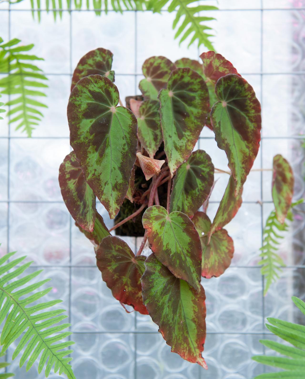 Begonia burkilii