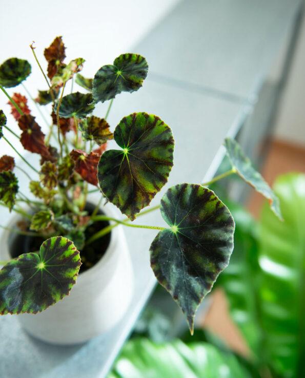 Begonia mazae var nigricans
