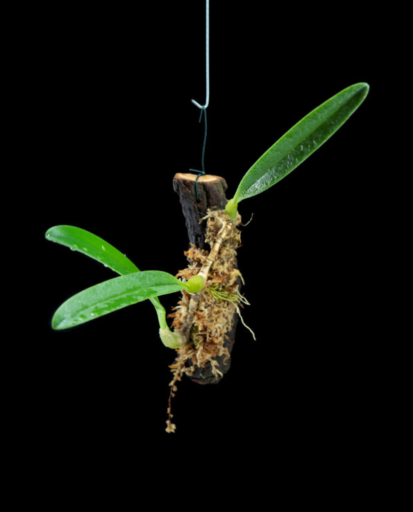Bulbophyllum affine