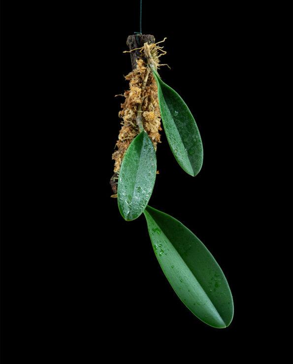 Bulbophyllum copelandii