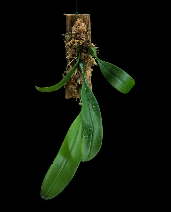 Bulbophyllum dentiferum