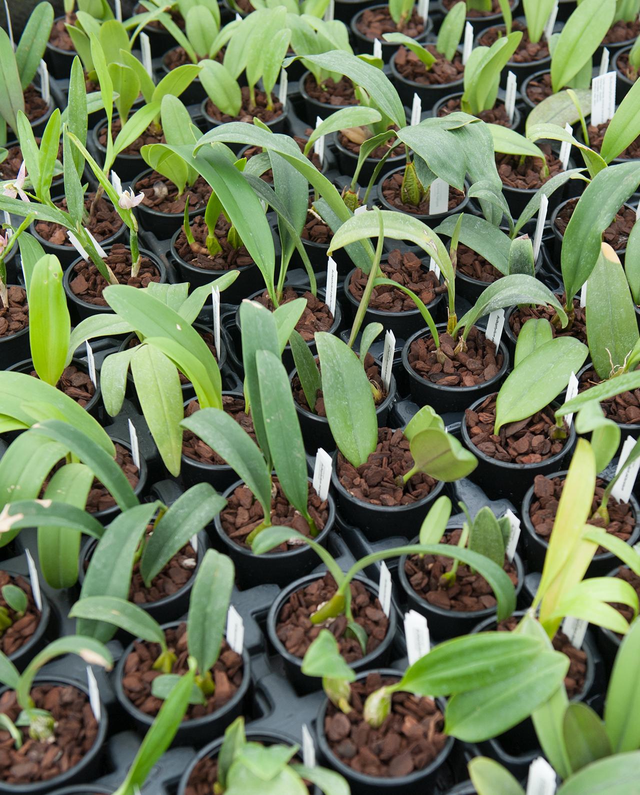 Orchideen Bulbophyllum