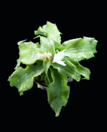 Cryptanthus spec. 'green'