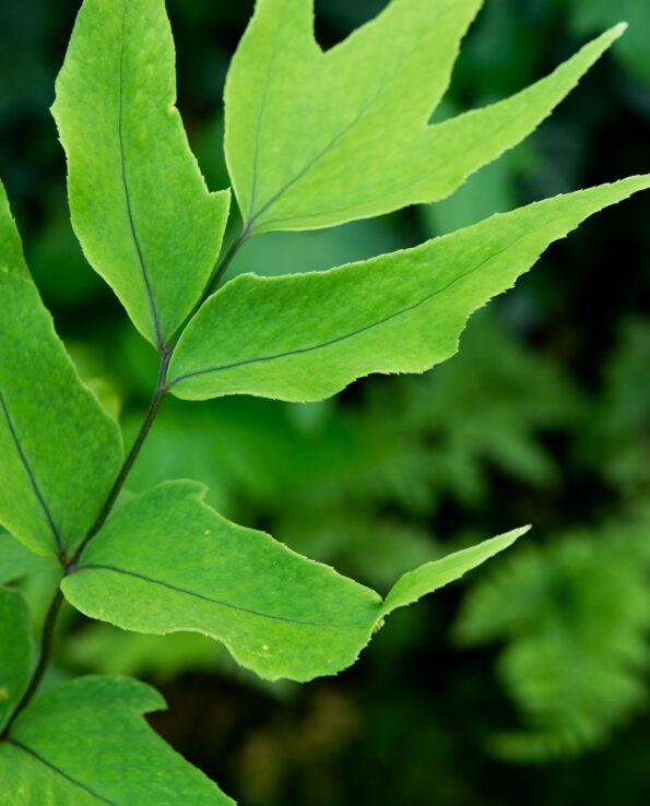Cyrtomium macrophyllum var tukusicola