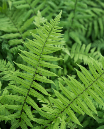 Dryopteris dickinsii