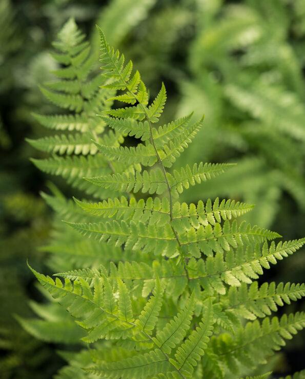 Dryopteris ramosa