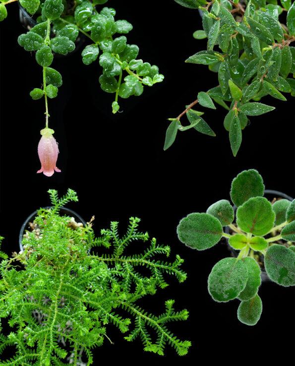 Schnelle grüne Wand, Terrarienpflanzenset, Farnwerk, Terrarienpflanzen, Terrarium, Rankenpflanzen