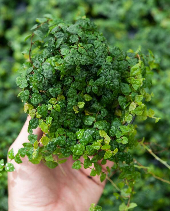Ficus minima