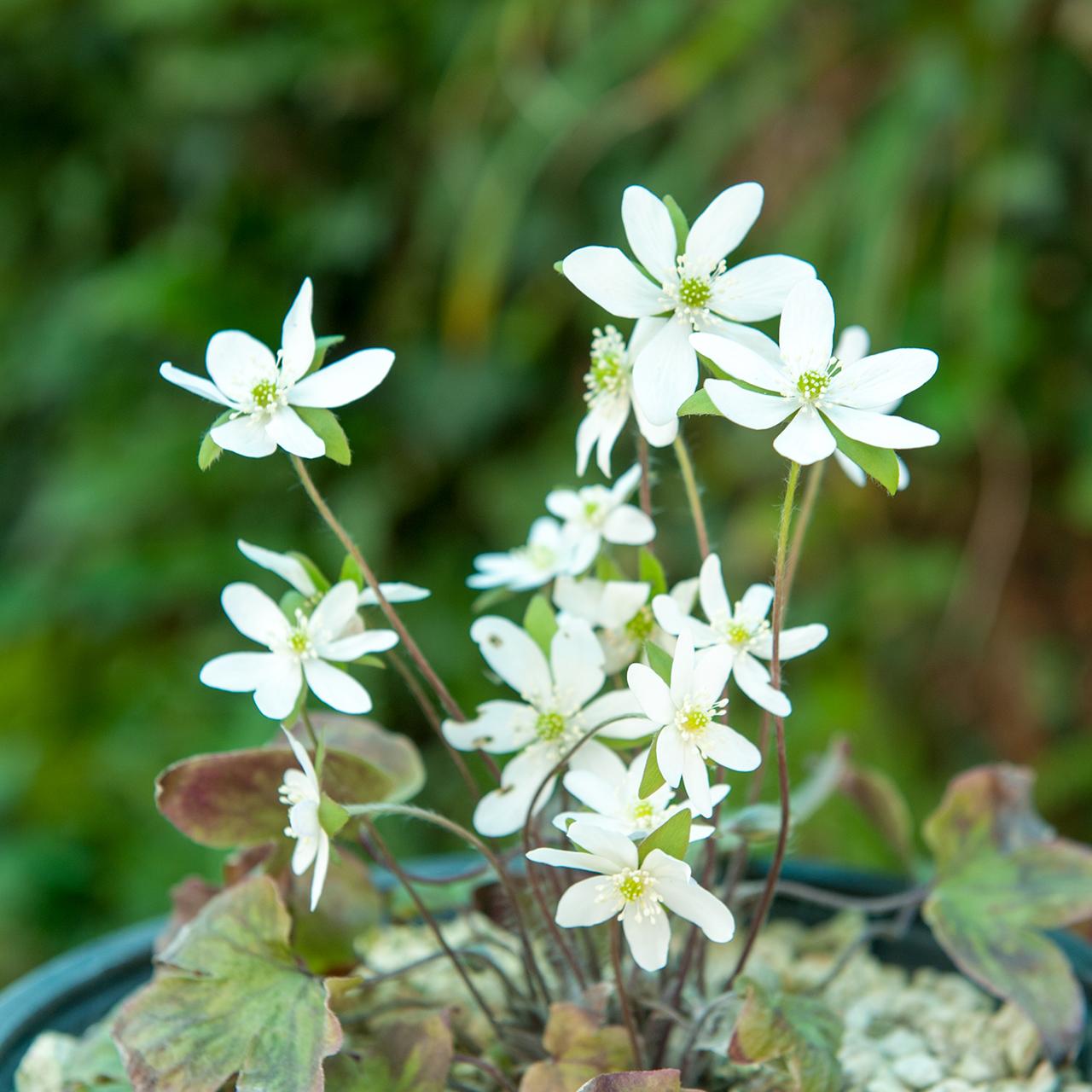 Hepatica nobilis alba Leberblümchen