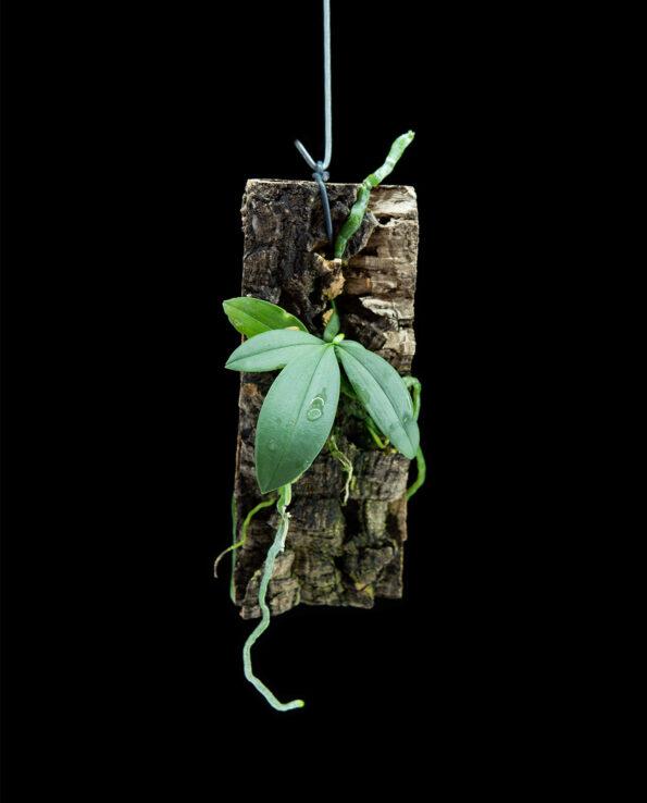 Phalaenopsis lobbii