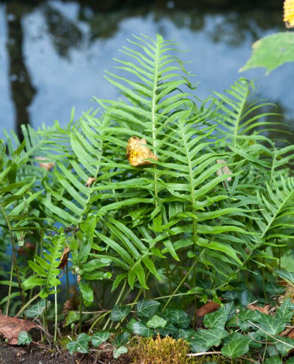Polypodium cf. cambricum