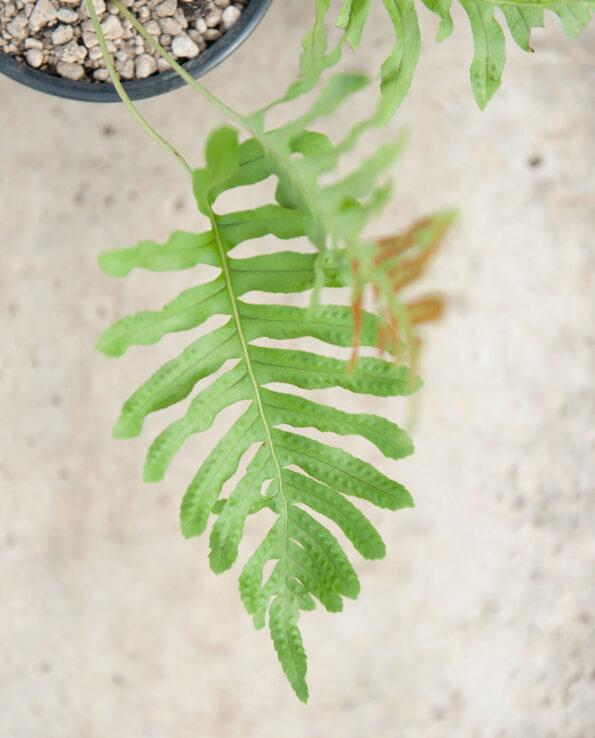 Polypodium cambricum ssp. macaronesicum