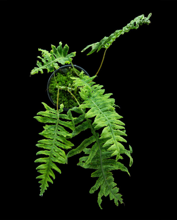 Polypodium formosum Terrarienpflanze