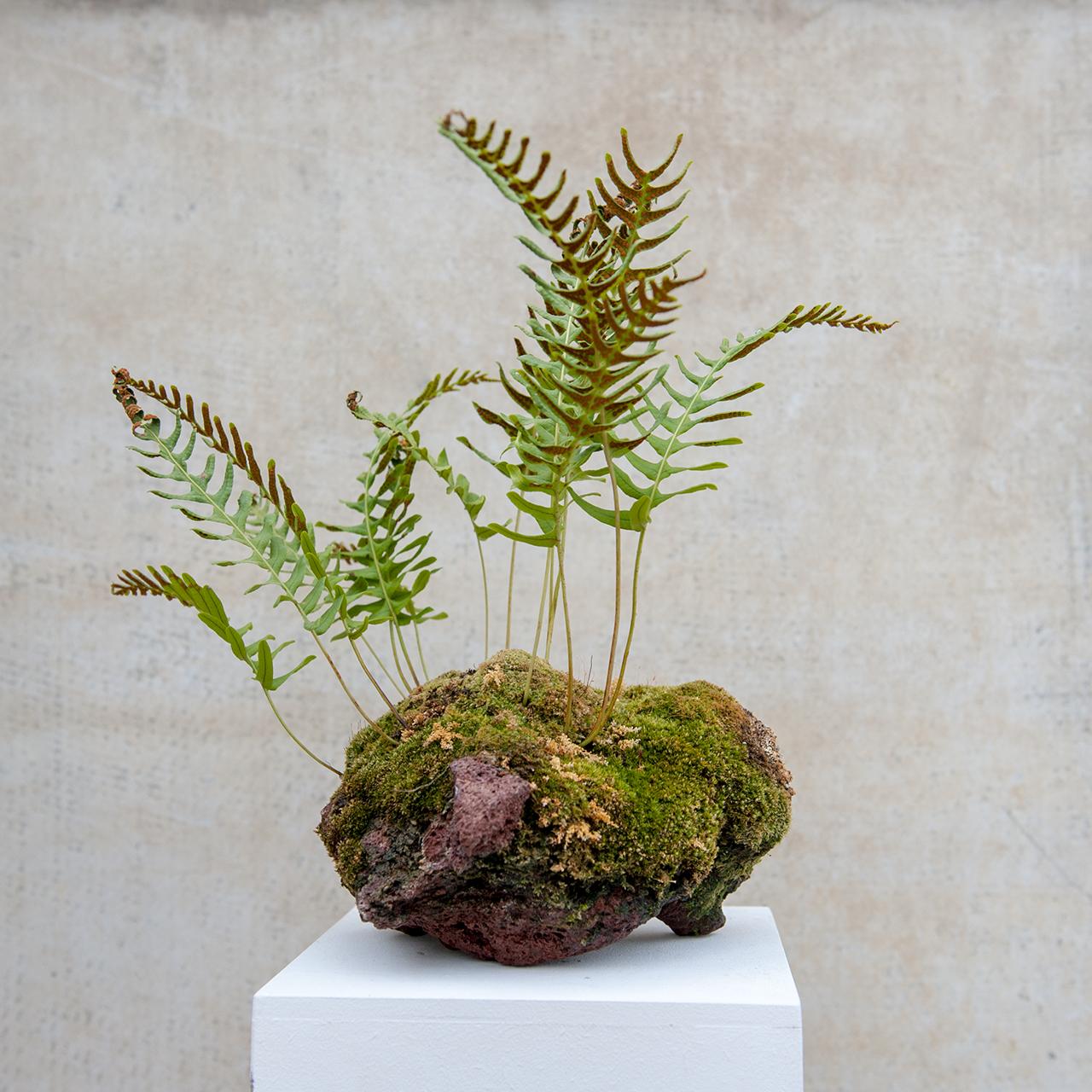 polypodium_lavarock_moss