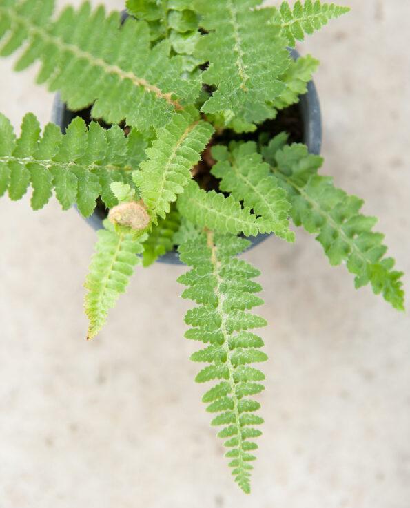 Polystichum wilsonii