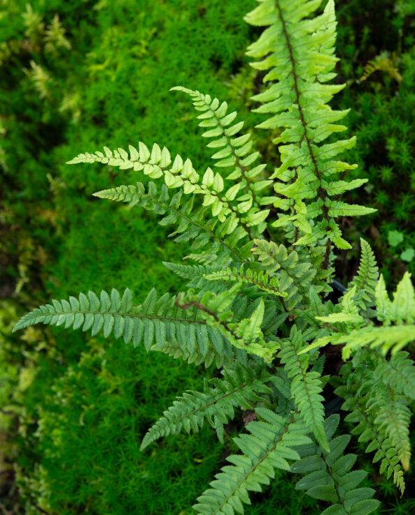 Polystichum xiphophyllum