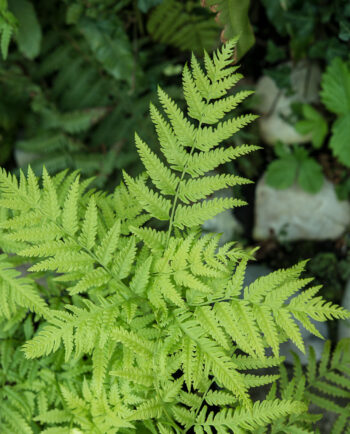 Pteris wallichiana