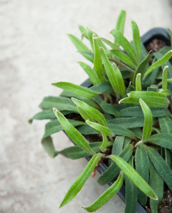 Pyrrosia linearifolia