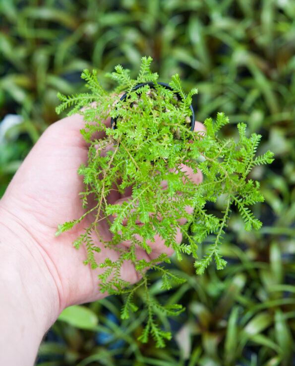 Selaginella spec. Brasilien