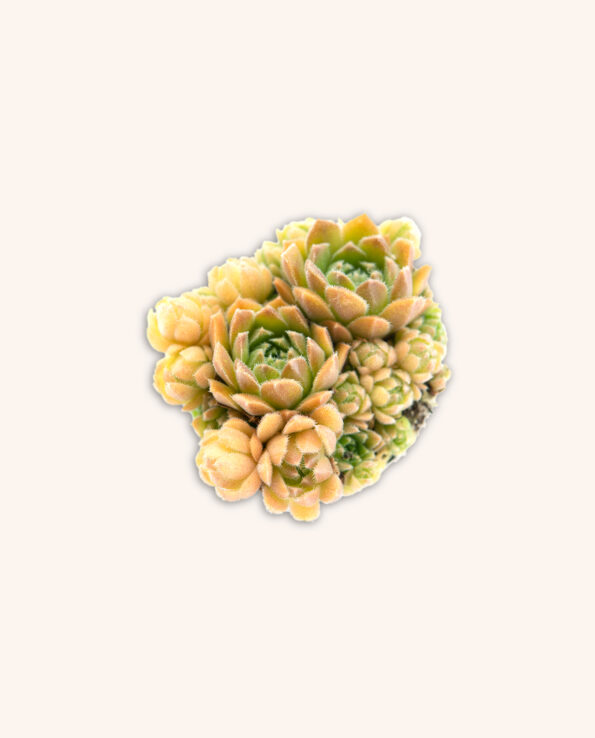 Sempervivum pumilum 'Okoi'