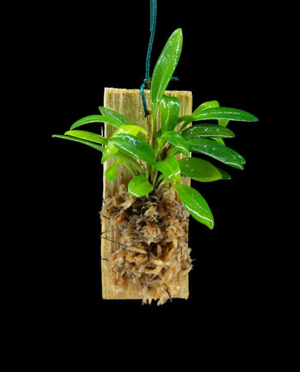 Stelis ciliata